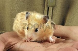 Golden Hamster, Mesocricetus auratus, Goldhamster