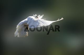 Weisse Taube, white dove