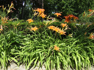 Taglilien (Hemerocallis)