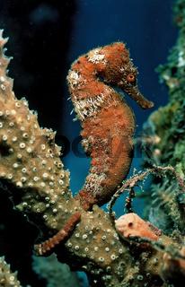 Langschnaeuziges Seepferdchen, Hippocampus reidi, Hollaendische Antillen, Saba, Karibisches Meer, Longsnout Seahorse