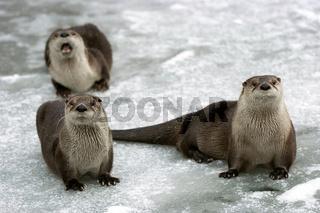 Drei Fischotter Three Otters