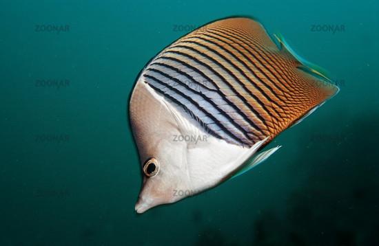 Weisskopf-Falterfisch, Chaetodon mesoleucos, Djibouti, White-face butterflyfish, Afrika, Africa