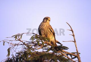 Turmfalke, Falcon tinnunculus, Rock Kestrel, Europe, Europe