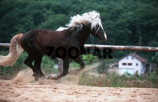 German 'Schwarzwälder' Heavy Horse / Schwarzwälder Fuchs