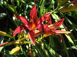 Taglilie (Hemerocallis)