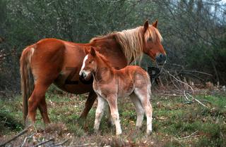 Gallego Horse