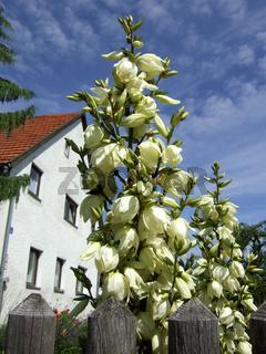 Yucca filamentosa, Blüten