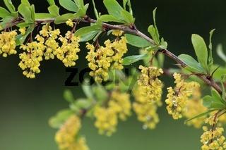 Berberitze, Berberis vulgaris, Barberry