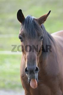 Traber / Trotter Horse