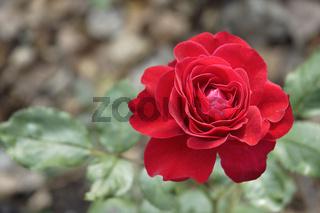 Rote Rose   Red rose