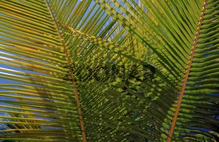 Gruener Kokospalmwedel, Catalina Insel, Karibik, Dominikanische Republik