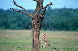 Gepard (Acynonix jubatus). Eng.: Cheetah.