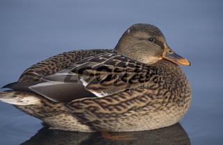 Ente, duck