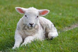 Liegendes Lamm.