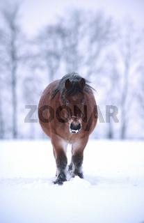 Kaltblutpferd, Partbreed, Heavy Horse