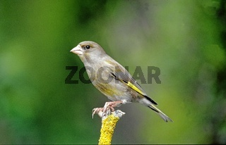 Greenfinch,  Carduelis chloris, Gruenfink, Gruenling, Europa, europe, Tiere, animals, Finken, finches, Singvoegel, songbirds, Vogel