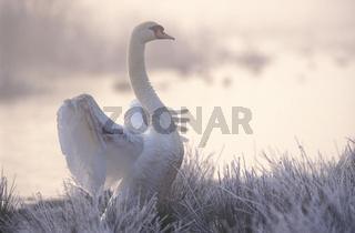 Hoeckerschwan, Cygnus olor, Mute swan, Europe, Europa