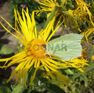 Alant (Inula helenium) mit Zitronenfalter