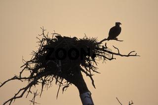 Osprey, Pandion haliaetus, Fischadler