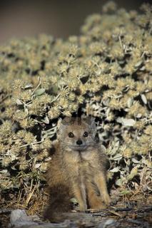 Yellow Mongoose, Fuchsmanguste, Cynictis penicillata