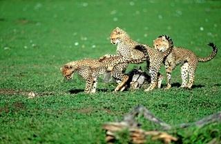 Spielende Geparde  (Acynonix jubatus). Eng.: Playing younf cheetahs.