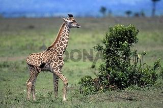 Giraffe, Giraffa camelopardalis, Giraffa