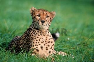 Gepard, Cheetah, Acinonyx jubatus, Afrika, Africa
