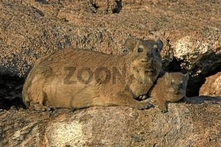 Klippschliefer, hyrax, Afrika
