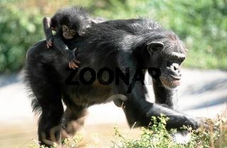 Schimpanse, Chimpanzee, Pan troglodytes