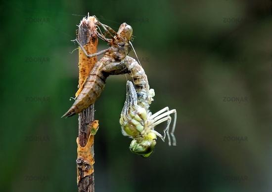 Libellen-Geburt