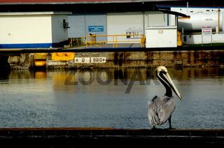 Pelikan am Panamakanal