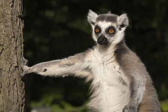 Katta, Ring-tailed Lemur
