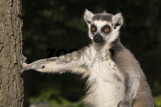 Katta, Ring-tailed Lemur
