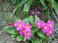 Pink primroses | Primeln (Primula)