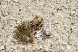 Grasfrosch  'rana temporaria'