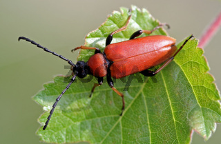 Rothalsbock, Corymbia rubra, Bockkäfer