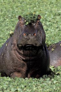 Hippopotamus, Flusspferd, Hippopotamus amphibius,