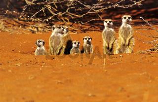 Erdmaennchen auf Wachposten, Simbabwe, Afrika