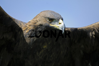 Steinadler, Golden Eagle (Aquila chrysaetos)