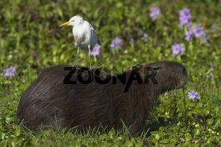 Capybara (Hydrochoerus hydrochaeris) mit Schmuckreiher, Capybara, Llanos de Orinoco, Venezuela