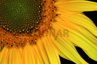 Sonnenblume / Sunflower