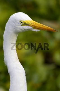Silberreiher, Egretta alba, Great Egret
