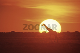 Kap-Giraffe bei Sonnenuntergang, Giraffe at sunset