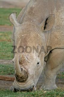 Nashorn, Kenia, wildlife, white rhinoceros