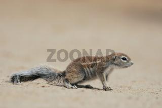 Afrikanisches Erdhoernchen, Ground Squirrel, South Africa, Sued-Afrika