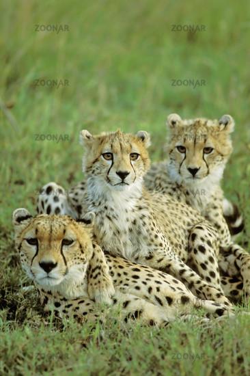Cheetah, Gepard, Acinonyx jubatus, Masai Mara, Kenya
