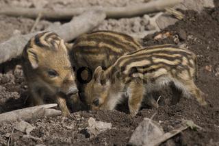 Wildschwein, Frischlinge 'Sus scrofa'