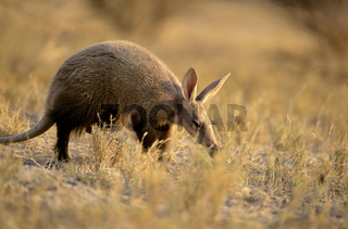 Namibia, Afrika, Etosha NP, Erdferkel, durch Trockensavanne streifend, Orycteropus afer