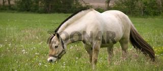 Norwegisches Fjord Pferd -