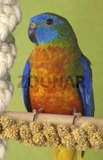 Schoensittich, tuerkissittich, neophema pulchella, chestnut-shouldered parakeet, tourquosine, tourquoise parrot, perruche, grassittich, grassittiche, neopherma